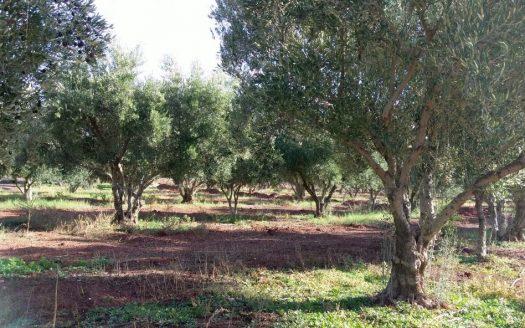 Ferme de 11 hectares région Chemaia